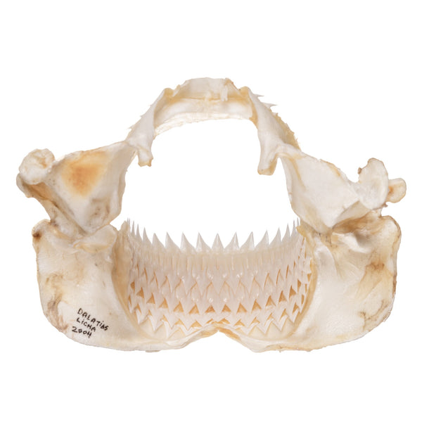 Real Kitefin Shark Jaw