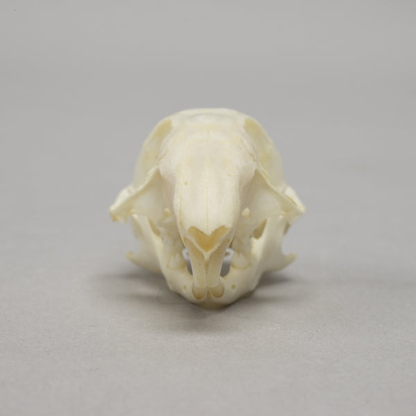 Real Thirteen-lined Ground Squirrel Skull