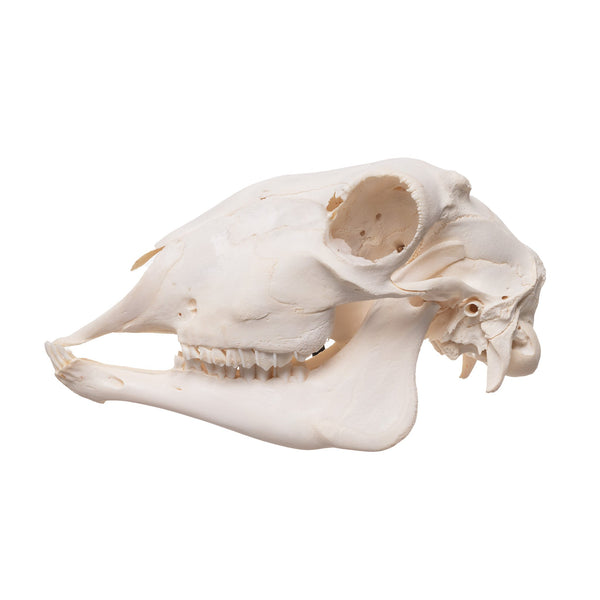 Real Sheep Skull