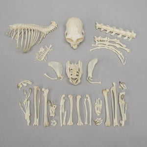 Real Geoffroy's Marmoset Skeleton