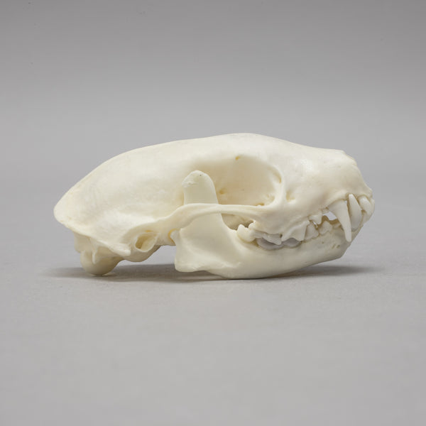 Real Hooded Skunk Skeleton