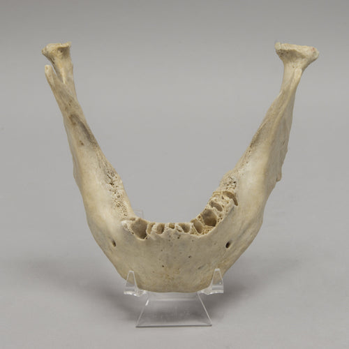 Real Human Mandible