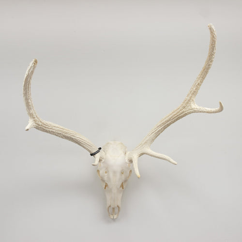 Real Red Deer Skull