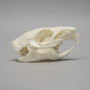 Real Guinea Pig Skeleton