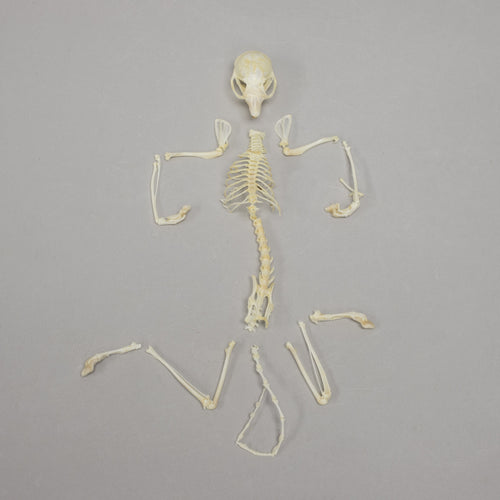 Real Flying Squirrel Skeleton