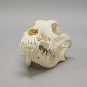 Real Domestic Dog Skull - (Pathology)