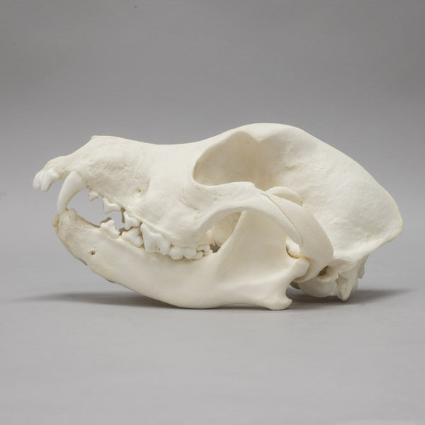 Real Domestic Dog Skull - (Severe Overbite)