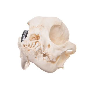 Real Domestic Dog (Pug) Skull