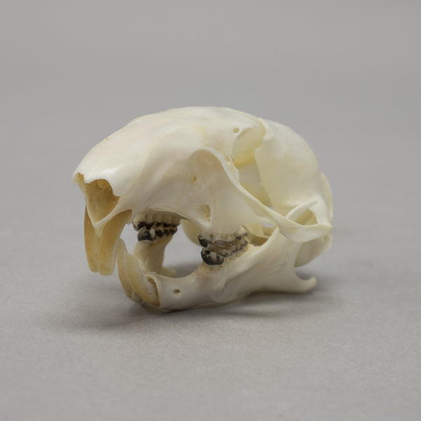 Real Franklin's Ground Squirrel Skull