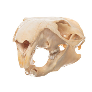 Real Woodchuck Skull