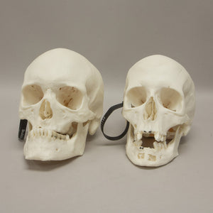 Real Research Quality Human Skull Set