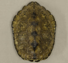 Real Japanese Pond Turtle Shell
