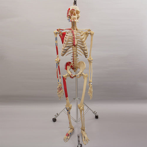 Real Articulated Human Skeleton