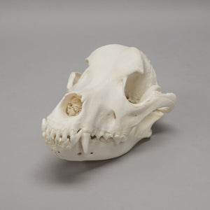 Real Domestic Dog Skull - (Rottweiler)