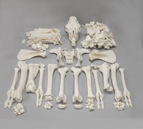 Real Camel Skeleton