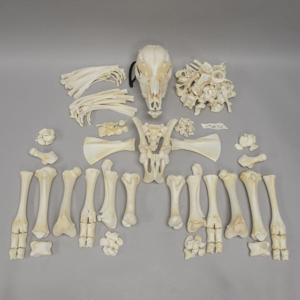Real Calf Skeleton