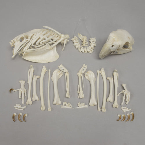 Real Green Winged Macaw Skeleton