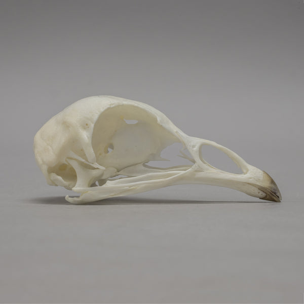 Real Pea Hen Skeleton