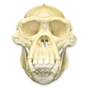 Replica Chimpanzee Skull (Male)
