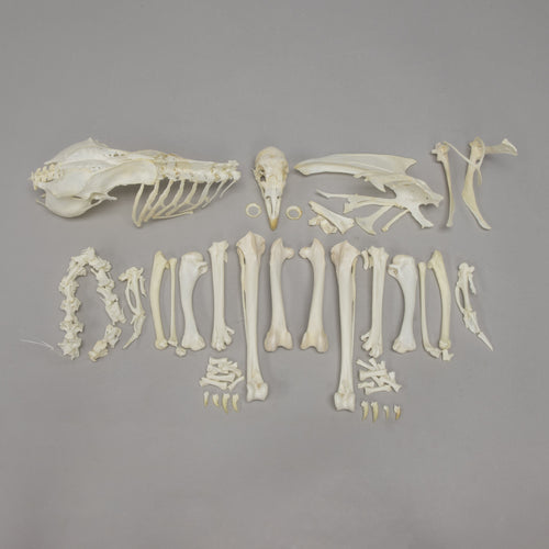 Real Chicken Skeleton