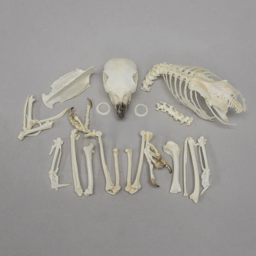 Real Blue-headed Parrot Skeleton