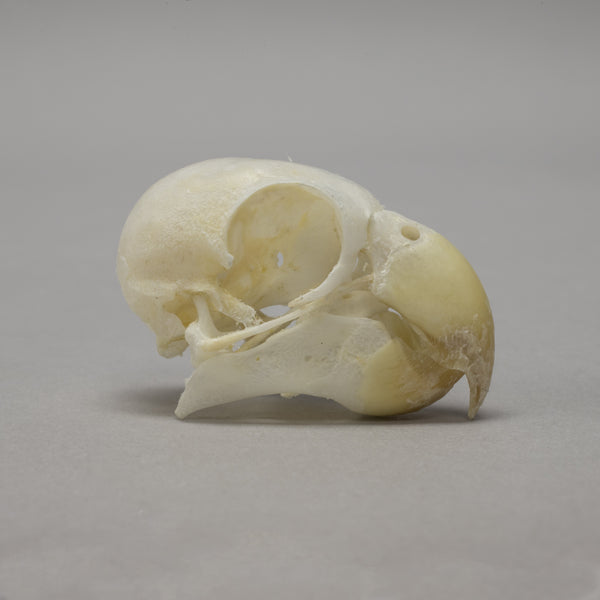 Real Conure Skeleton