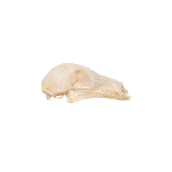 Real Long-tongued Nectar Bat Skull