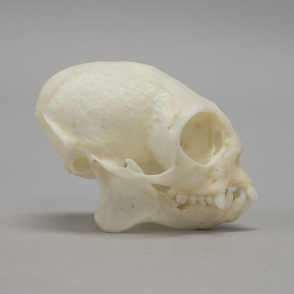 Real Common Marmoset Skeleton