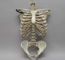Real Articulated Human Torso