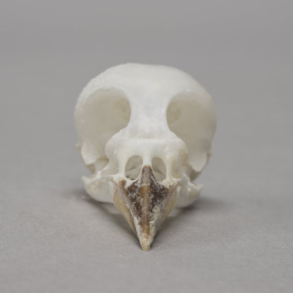 Real Red-capped Cardinal Skeleton