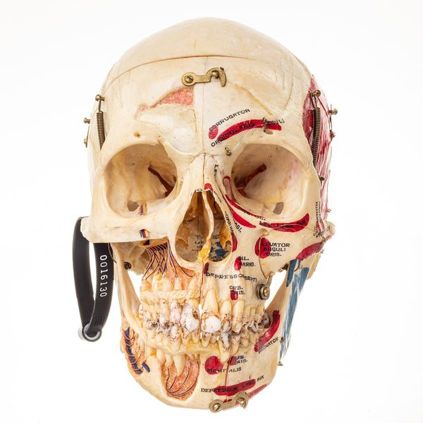 Real Human Skull (Dissected with Case)