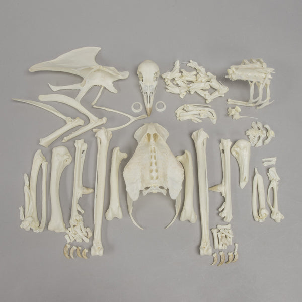 Real Peacock Skeleton