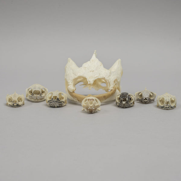 Real Bag-o-Turtle Skulls