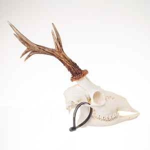 Real Roe Deer Skull