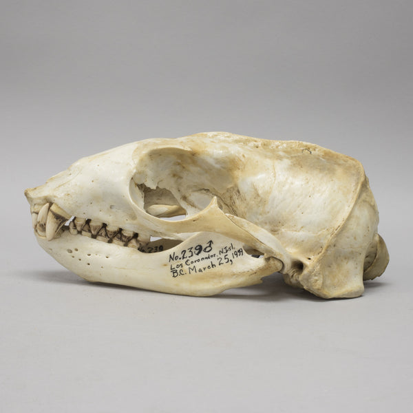 Real California Sea Lion Skull & Baculum