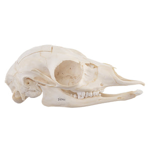 Real Gerenuk Skull - (Female)