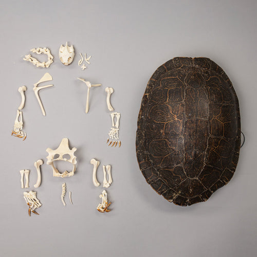 Real Turtle Skeleton and Shell