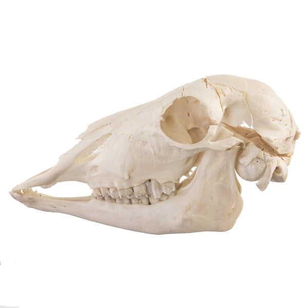 Real Impala Skull - (Female)
