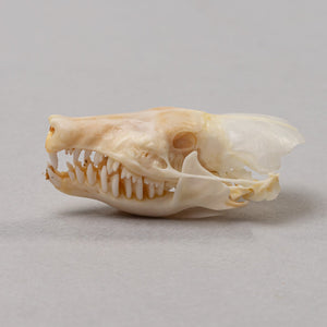 Real Mole Skeleton