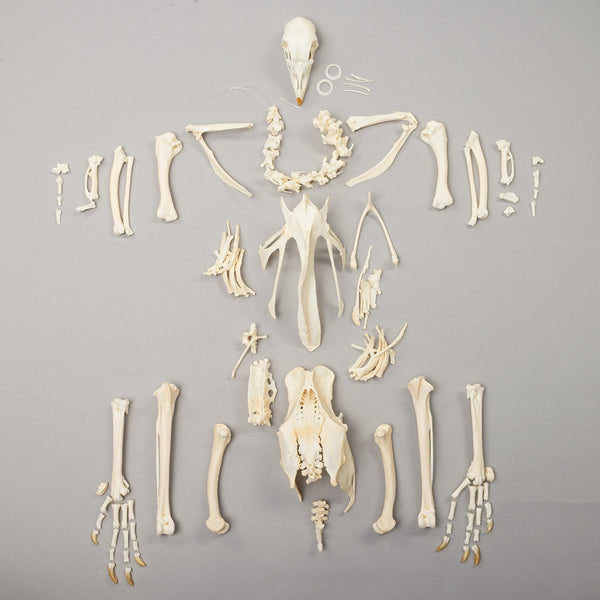 Real Domestic Chicken Skeleton