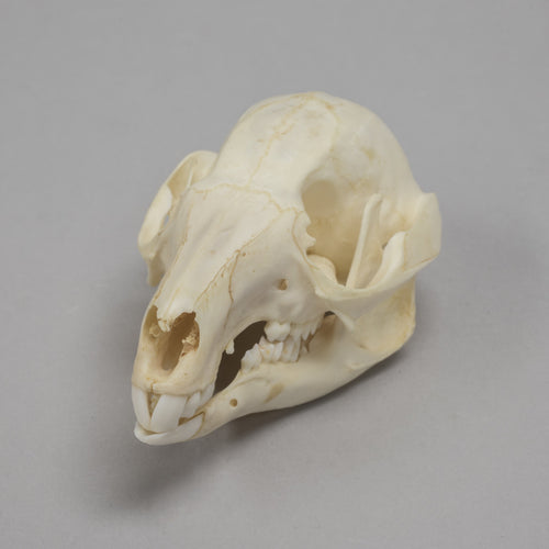 Real Dama Wallaby Skull