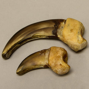 Real Authentic Grizzly Bear Claw Set
