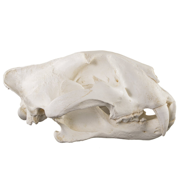 Replica Teaching Quality Tiger Skull (Male Bengal)