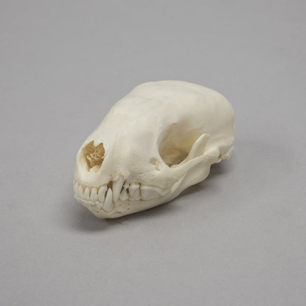 Real European Polecat Skull
