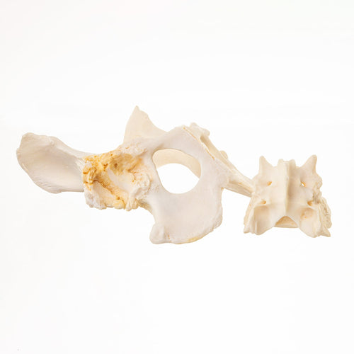 Real Domestic Dog Pelvis and Sacrum