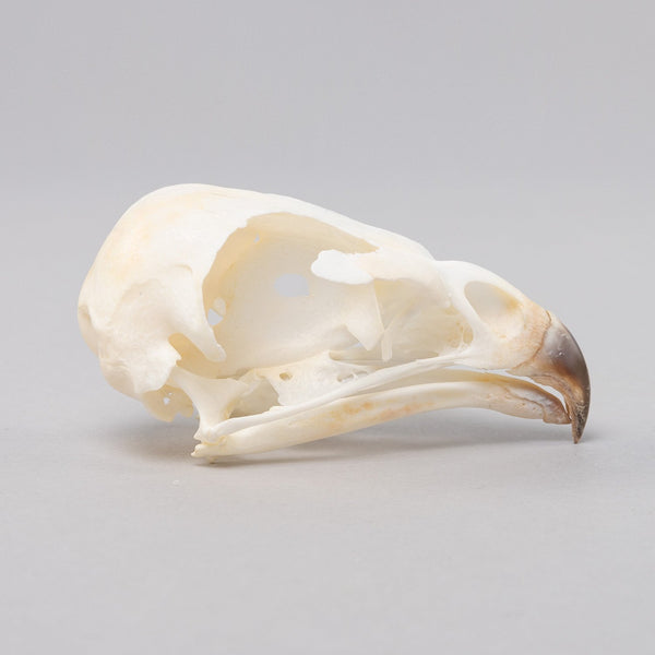 Real European Buzzard Skeleton