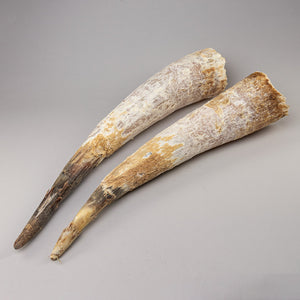 Real Longhorn Horns