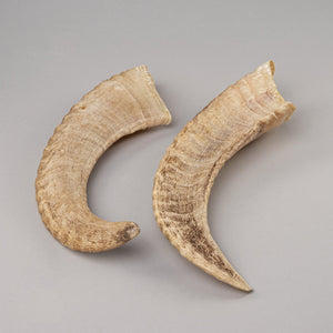 Real Domestic Ram Horns