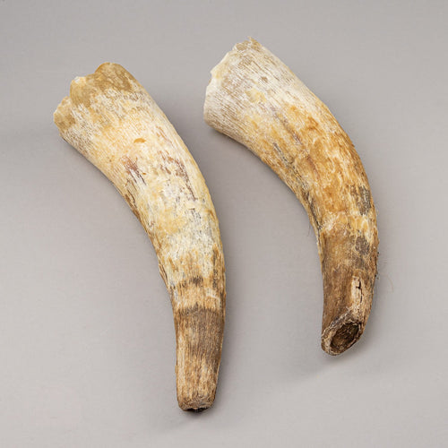 Real Steer/Cow Horns
