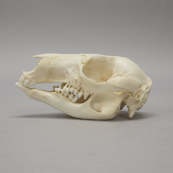 Real Bennett's Wallaby Skeleton